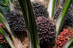 Oil Palm Plantations